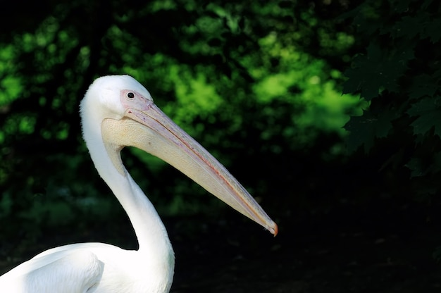 Pelikan lub pelikan różowy na ciemnym tle