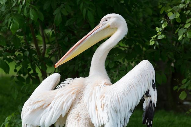 Pelikan lub różowy pelikan przy zoo