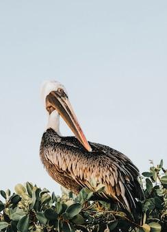Pelikan na wierzchołku drzewa na wyspach galapagos