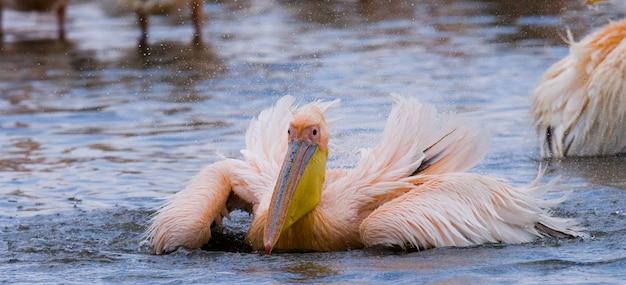 Pelikan pływa w wodzie w całej rozpylonej wodzie. jezioro nakuru.