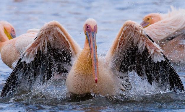 Pelikan pływa w wodzie w całej rozpylonej wodzie.