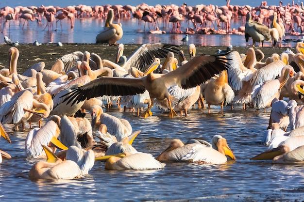 Pelikan przybywa na ląd. kenia, afryka