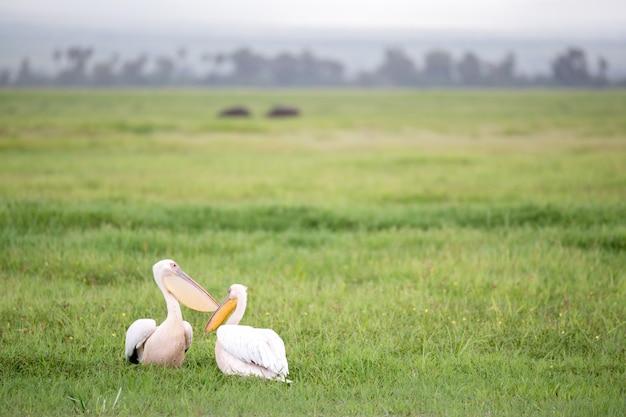Pelikan ptaki w stojącej zielonej trawie