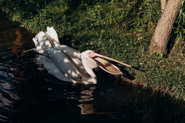 Pelikan w zoo pływa w basenie.