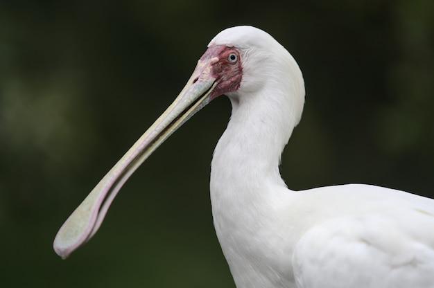 Pelikan z bliska portret