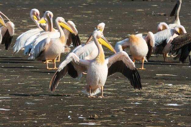 Pelikan z otwartymi skrzydłami. nakuru, kenia