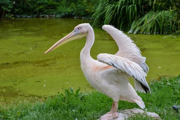 Pelikan z rozpostartymi skrzydłami na tle stawu i zielonej trawy. zjednoczone królestwo.