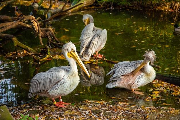 Pelikany na jeziorze w parku