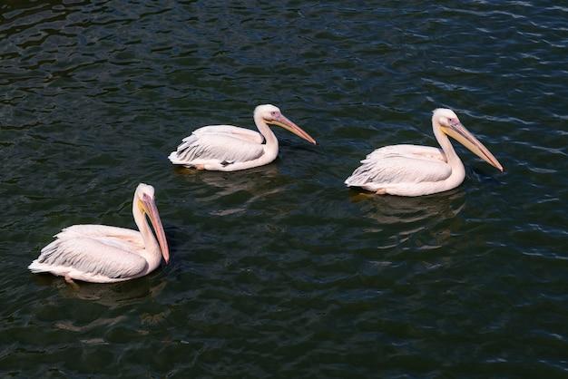 Pelikany różowate - pelecanus rufescens pływające w wodzie.