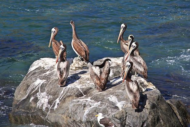 Pelikany w wiosce zapallar w chile