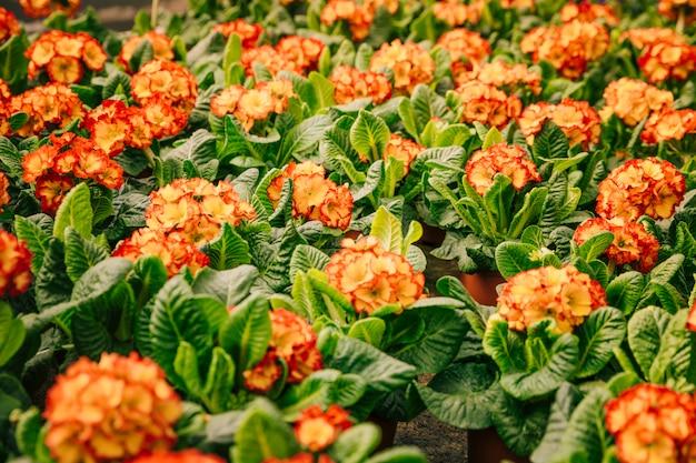 Pełna klatka czerwonych i pomarańczowych kwiatów z zielonymi liśćmi