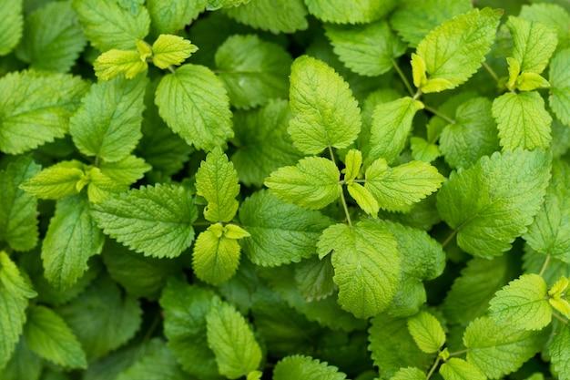 Pełna klatka liści mięty świeżego zielonego balsamu