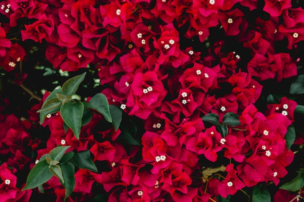 Pełna klatka obraz czerwonych kwiatów bugenwilli