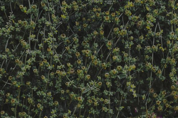 Pełna rama pnącza z żółtymi kwiatami w kwiacie