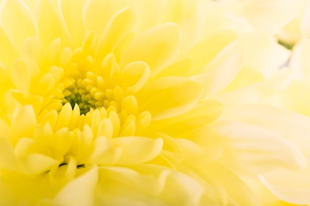 Pełna rama żółty gerbera
