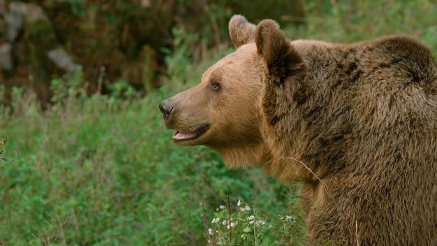 Pełną twarz dorosłego niedźwiedzia