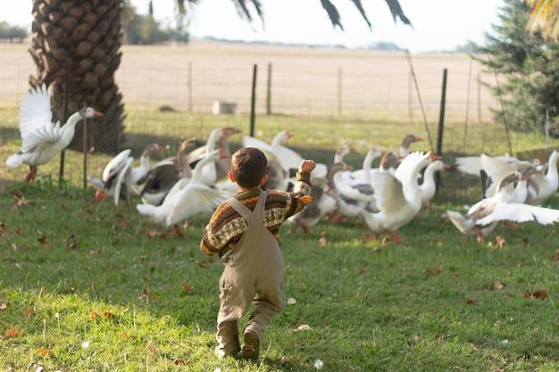 Pełne ujęcie dzieciaka biegającego za gęsiami
