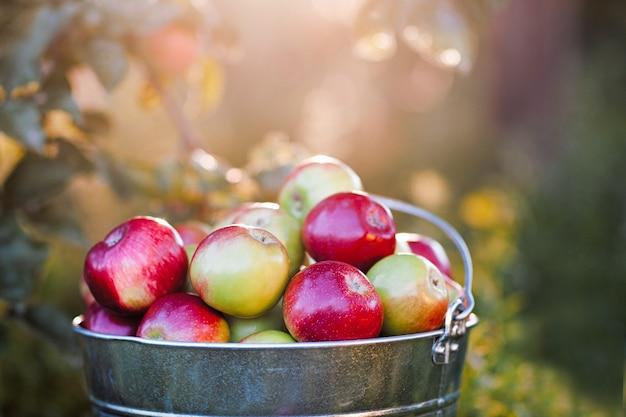 Pełne wiadro z dojrzałymi jabłkami w świetle słonecznym flary