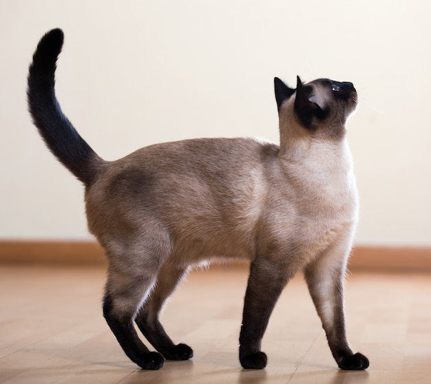 Pełnej długości strzał kot syjamski