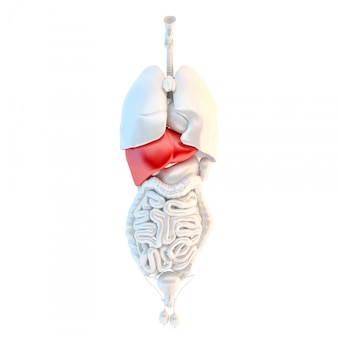 Pełnej długości widok ludzkich męskich narządów wewnętrznych z wysublimowaną wątrobą