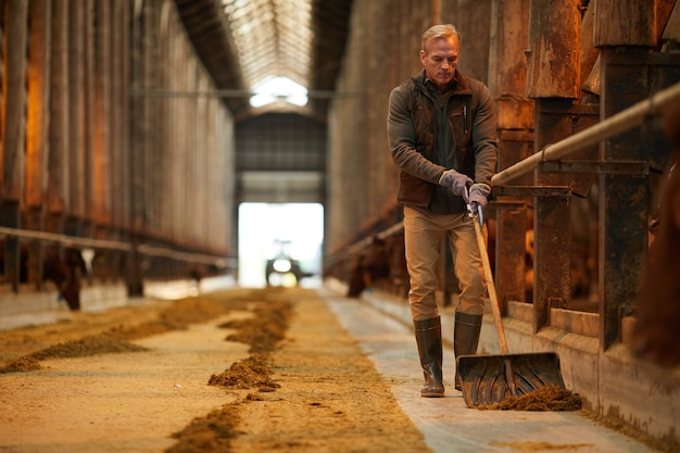Pełnometrażowy portret dojrzałego pracownika gospodarstwa sprzątającego obór krów podczas pracy na rodzinnym ranczo, miejsce na kopię