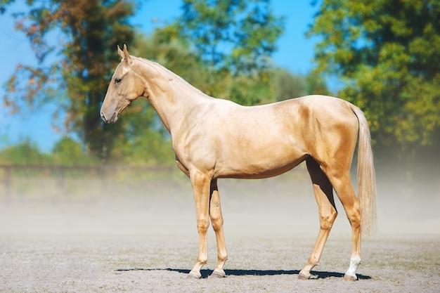 Pełnometrażowy portret solnego konia achal-teke. młody koń pozowanie na niewyraźne tło
