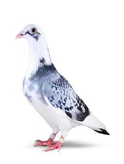 Pełny ciało pięknego samokierującego gołębiego ptaka odosobniony biel