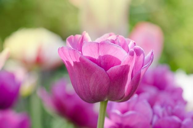 Pełny fiolet fioletowy. podwójny tulipan kwitnący piwonia