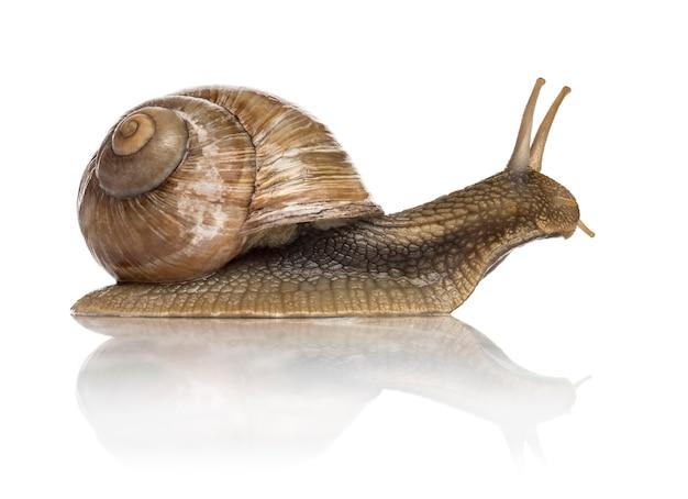 Pełzający ślimak pospolity, ślimak bordowy lub ślimak jadalny, na białym tle