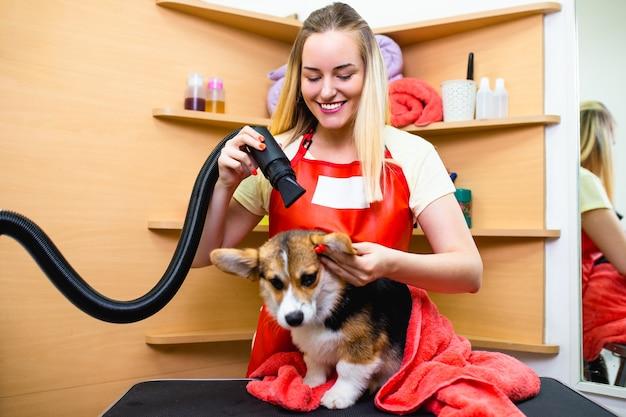 Pembroke welsh corgi w salonie fryzjerskim