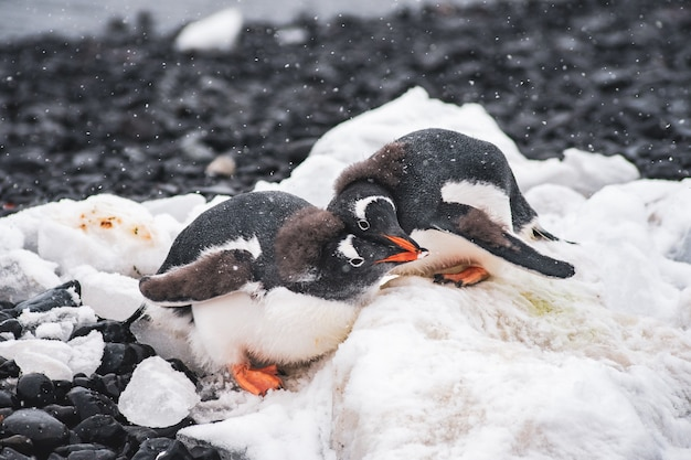 Penguins love in brown bluff na antarktydzie