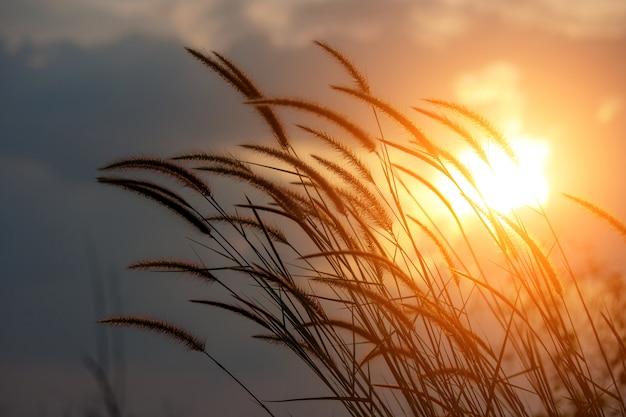 Pennisetum roślina w świetle słonecznym