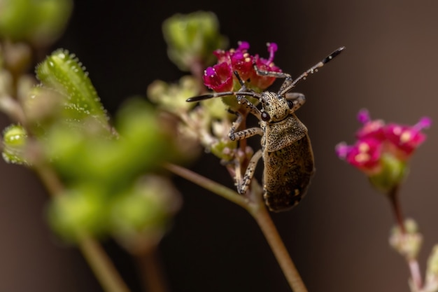 Pentatomomorph bug nimfa infraorder pentatomomorpha