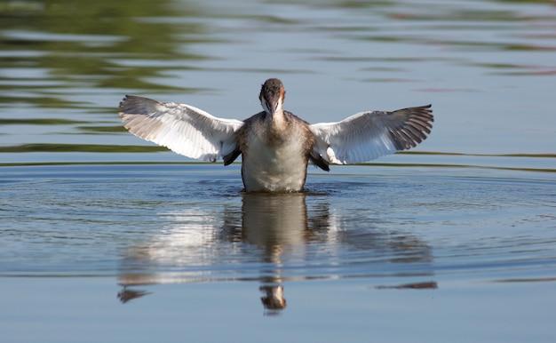 Perkoz dwuczuby, podiceps cristatus. ptak rozpościera skrzydła, trzepocze skrzydłami