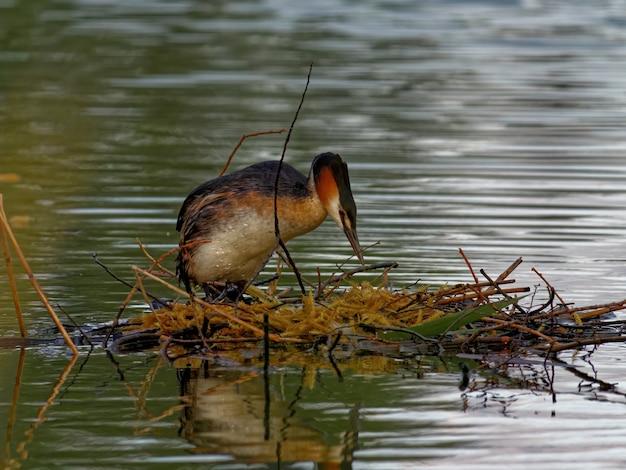 Perkoz dwuczuby (podiceps cristatus) w jeziorze w ciągu dnia