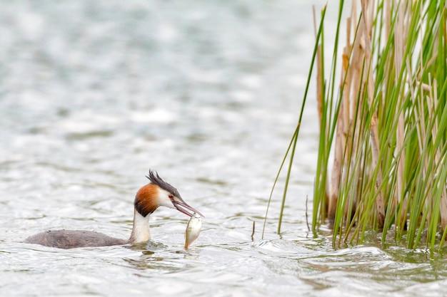 Perkoz dwuczuby podiceps cristatus w jeziorze