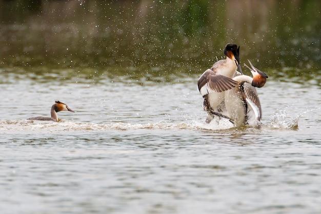 Perkoz dwuczuby walczy w wodzie