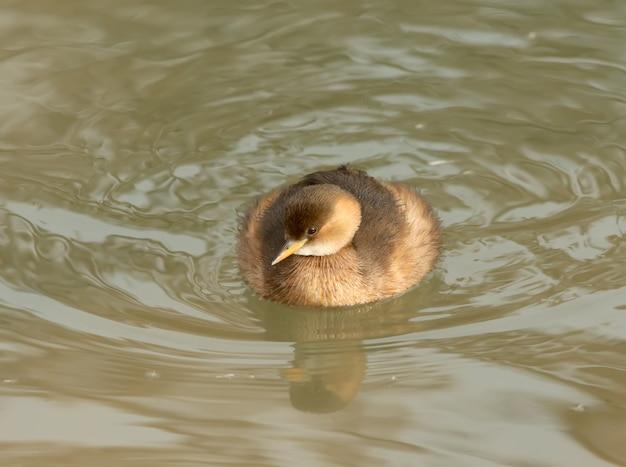 Perkoz w zimowym upierzeniu unosi się w wodzie.