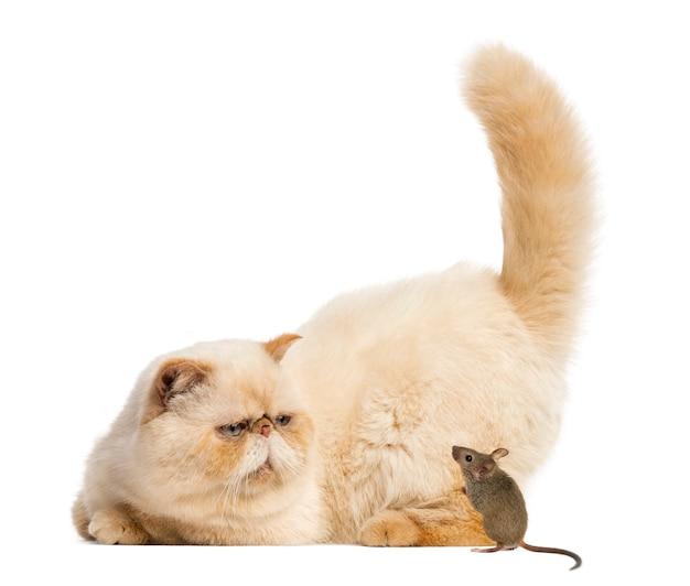 Pers gapiący się w mysz przed białą ścianą