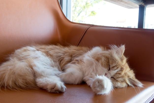 Perski kot na kanapie w domu