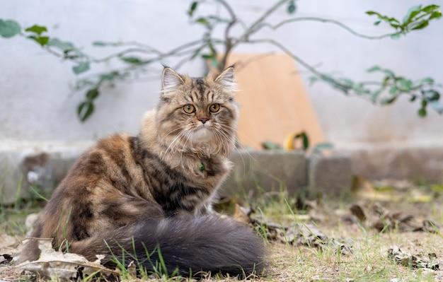 Perskie koty, perski szaro-brązowy kot w ogrodzie.