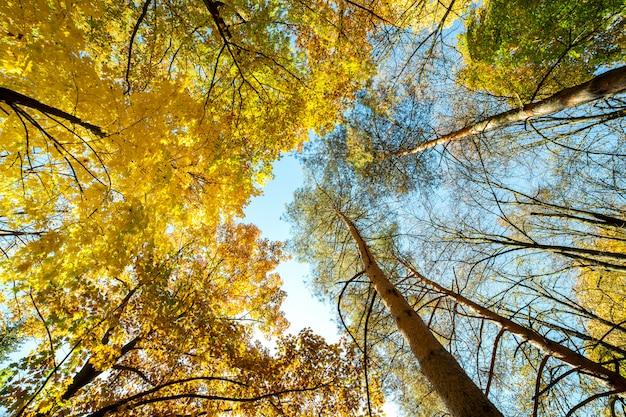 Perspektywa w górę widoku jesień las z jaskrawymi pomarańczowymi i żółtymi liśćmi. gęste drewno z grubymi daszkami przy słonecznej jesiennej pogodzie.