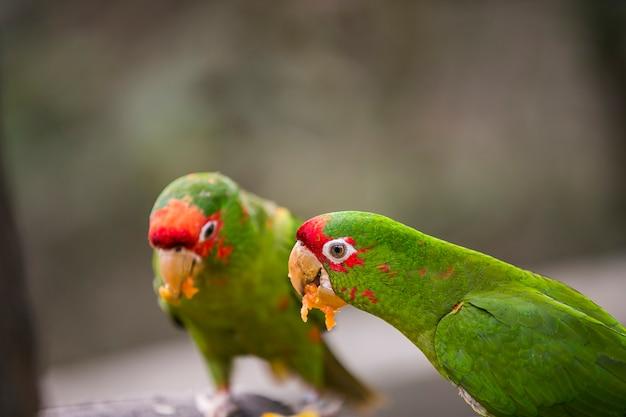 Peruwiańska papuga w yungas, coroico, boliwii
