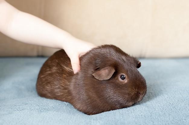 Peruwiańska świnka morska z długimi włosami na drewnie.