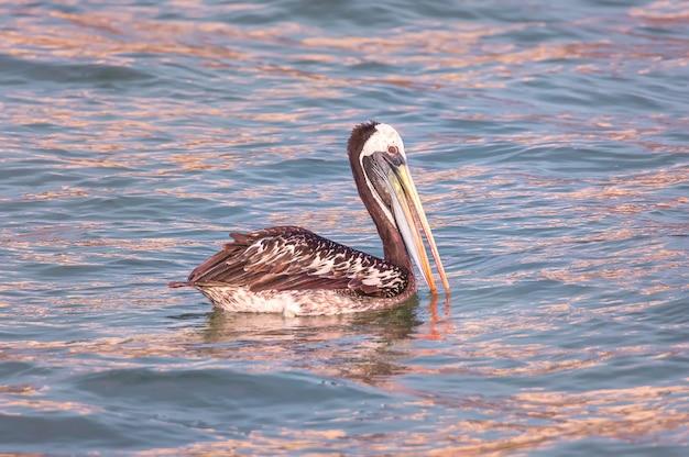 Peruwiański pelikan brunatny o zachodzie słońca wybrzeże oceanu spokojnego w limie peru ameryka południowa