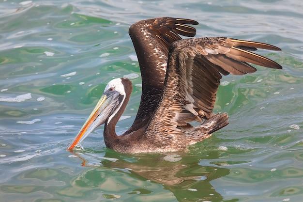 Peruwiański pelikan brunatny pływający w oceanie spokojnym w limie peru ameryka południowa