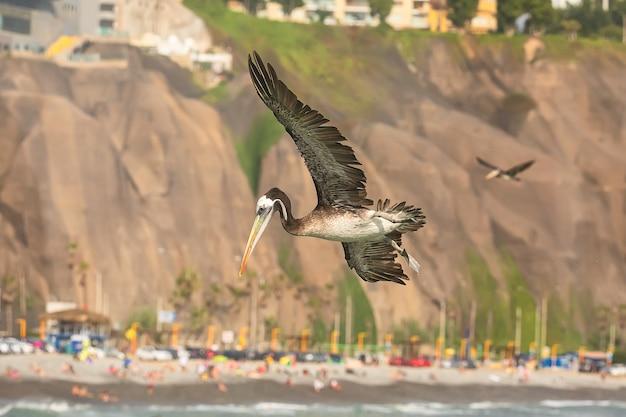 Peruwiański pelikan brunatny w locie nad plażą pacyfiku w limie peru ameryka południowa