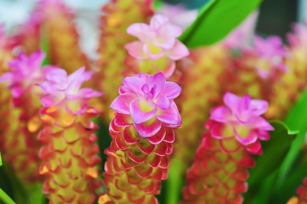 Petiolata curcuma znana jako klejnot tajlandii, tulipan siam, pastelowy ukryty imbir, ukryta lilia lub lilia królowa, jest rośliną rodziny zingiberaceae lub imbiru. pochodzi z tajlandii i malezji