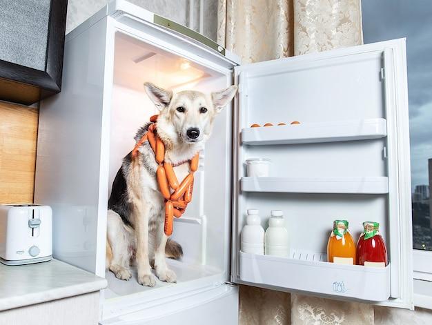 Pewny siebie pies kradnący kiełbasę z lodówki w kuchni. znak na kiełbaskach mleczny