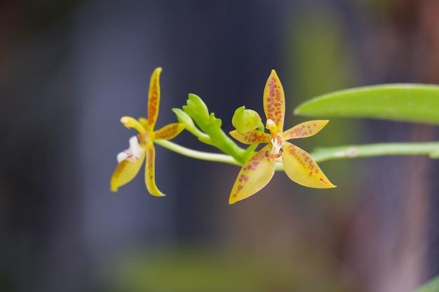 Phalaenopsis cornucervi to żółta orchidea kwitnąca zbliżenie na brunch